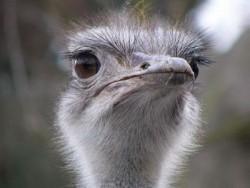 Отдам страуса в добрые руки.